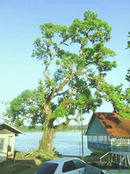 Tree 200 Years Old Real Apatou Guyane
