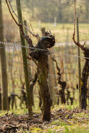 Month Of February Old Vines Vines Winter After Pruning Focus On Foreground Gnarled Vine Nature Vertical Vineyard Cultivation