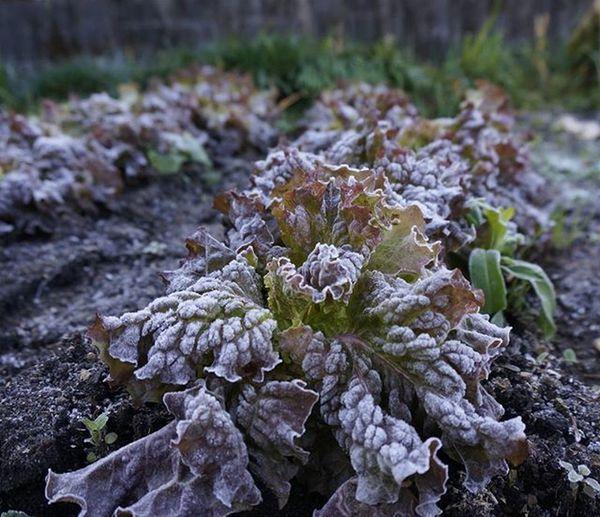 日中は20℃超えてるっていっても朝はやっぱり寒い😣😣レタスに霜がおりてました。 毎日学校に行ってると曜日の感覚がなくなってしまう(笑) 朝 霜 休みをください 写真撮り行きたい Japan Miyazaki Morning Cold Retas Vagetable Frost Winter School Tired Like4like F4F Instagood Pic 寒い レタス 家庭菜園 受験生 課外 疲れた センター試験 あと少し 無加工 写真撮ってる人と繋がりたい 写真好きな人と繋がりたい team_jp_