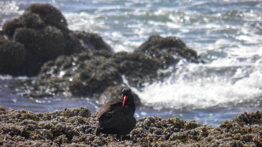 West Coast Oregon Coast Oregon Seascape Seaside Shorebird Oceanside Oceanscape Black Oystercatcher Seabirds Seabird Water Rocky Coastline Ocean Shore Surf Beach Coast