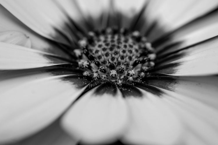 Flower Flowering Plant Fragility Plant Petal Vulnerability  Beauty In Nature Freshness Flower Head Nature Inflorescence Pollen Macro Growth Black And White Photography Black And White Black & White