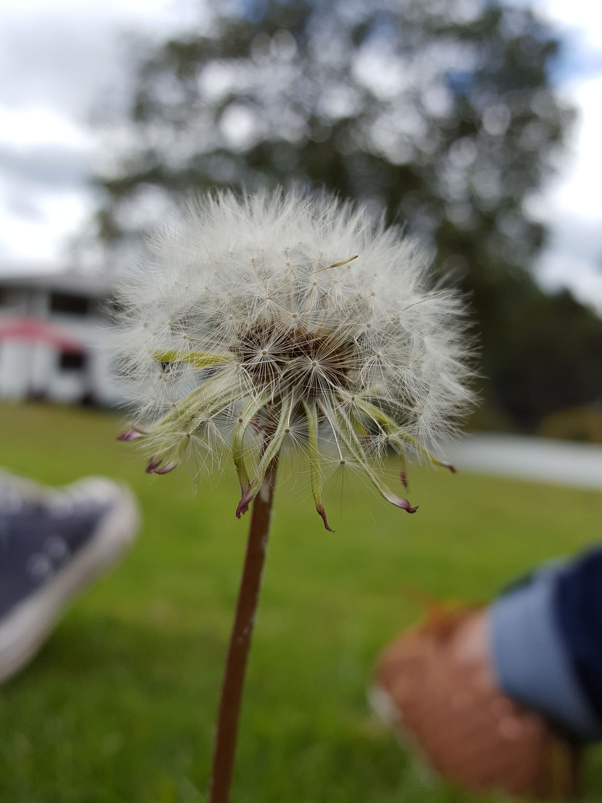 dandelion, flower, fragility, focus on foreground, freshness, flower head, growth, close-up, single flower, nature, stem, beauty in nature, softness, dandelion seed, plant, wildflower, selective focus, uncultivated, day, outdoors