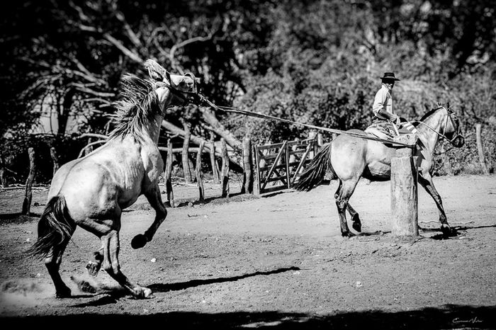 Argentina Photography Blackandwhite Photography Campo Argentino Gaucho Argentino Gauchos Hombre De Trabajo Horse Man And Horse One Animal Trabajo De Machos  Trabajo Duro Vidagaucha Working Animal