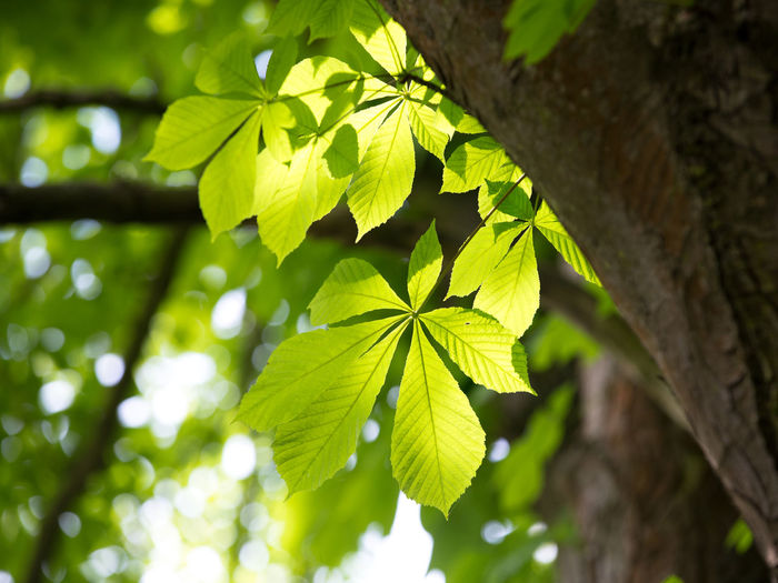 Beauty In Nature Blurred Background Branch Buckeye Tree Close-up Day Focus On Foreground Green Color Growth Leaf Leaves Low Angle View Nature No People Outdoors Plant Plant Part Selective Focus Sunlight Tree Tree Trunk Trunk