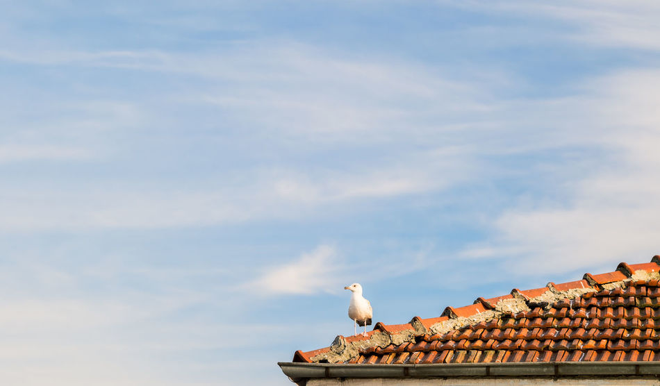 Seagull on the Roof Animals In The Wild Bird Birds Clouds Clouds And Sky Istanbul Istanbul Turkey Istanbullovers Landscape Landscape_Collection Natanomalous.com Nature Nature On Your Doorstep Nature Photography Nature_collection Blue Wave Naturelovers One Animal Perching Roof Seagull Sky Sky And Clouds Colour Of Life