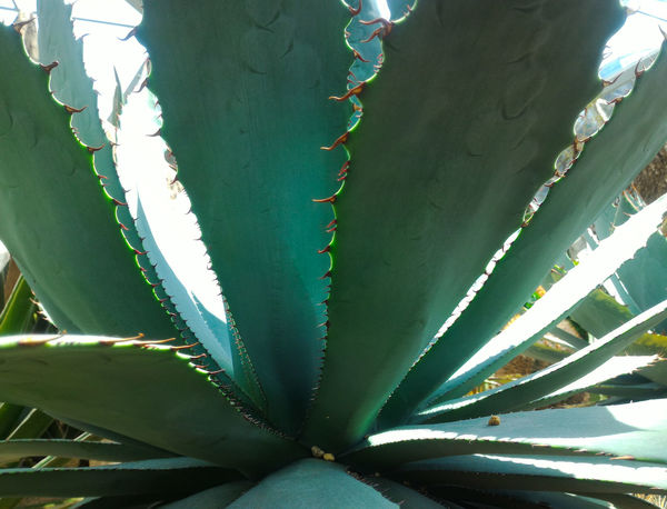 Under a century plant, spiky edges, beauty in nature EyeEm EyeEm Nature Lover Eyeem Philippines Eyeem Singapore EyeEm Gallery EyeEm Nature Collection EyeEm Best Shots - Nature Eyeem Market Eyeemmarket Eyeemphotography Eyeem Photography Singapore Singapore Botanic Garden Singapore Zoological Garden Abstract Photography Sequences Patterns In Nature Growth Green Color Cactus Plant Nature Aloe Aloe Vera Plant No People Leaf Beauty In Nature Outdoors Day Close-up
