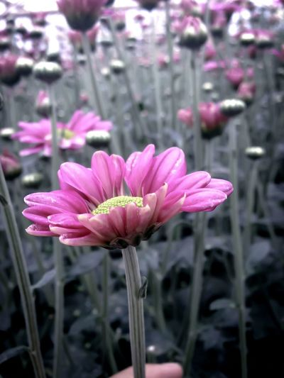 FlowerCrysanthemum Fragility Beauty In Nature Nature Freshness Flower Head Petal Growth Focus On Foreground Blooming Plant Stem No People Pink Color Close-up Purple Day Outdoors Pollen Millennial Pink EyeEmNewHere