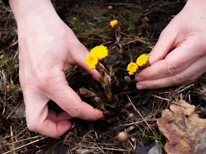 Hands plucking coltsfoot blooming flowers. plants in palm of a hand on meadow background in spring