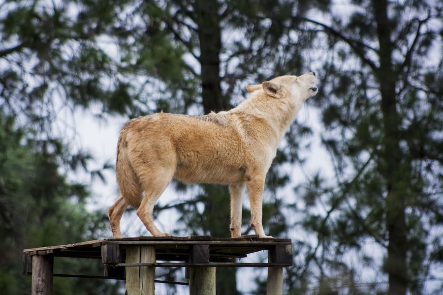 Africa Animal Themes Animal Wildlife Animals In The Wild Beauty In Nature Day Howl Mammal Nature Nature No People One Animal Outdoors Standing Tree Wolf