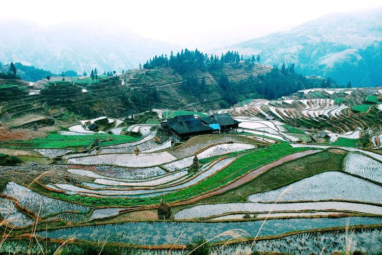 Panoramic view of rice paddy