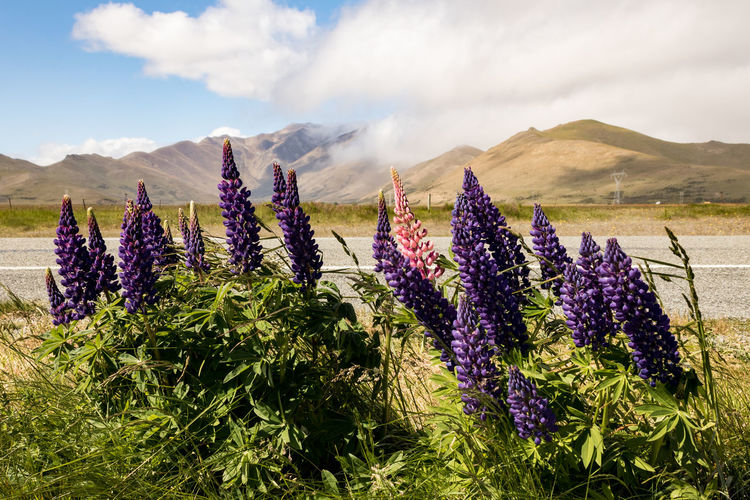 Lupins, mountains and clouds New Zealand Scenery Lupin Flower Flowering Plant Beauty In Nature Plant Sky Growth Nature Purple Cloud - Sky Landscape Land Scenics - Nature Mountain Tranquil Scene Field Environment Tranquility Freshness Day Fragility No People Outdoors Flower Head Flowerbed