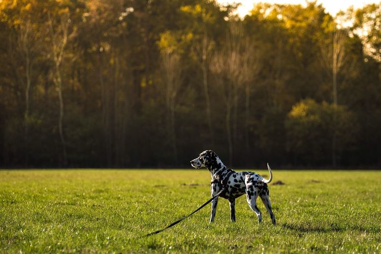 Grass No People Nature Field Tree Outdoors Landscape One Animal Pets Day Nikon Nikonphotography Nikond750 Taking Photos Dalmatian Dog Animal Themes Mammal Domestic Animals 70-200mm
