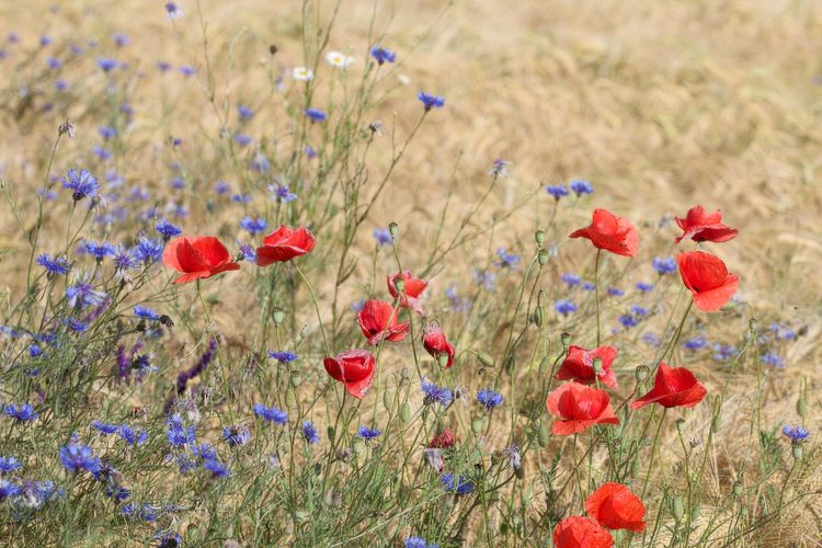 Flowerbed Flower Head Tranquility Selective Focus Close-up Petal Fragility Nature Poppy Red Vulnerability  Freshness Field Growth Beauty In Nature Land Flowering Plant Flower Plant Multi Colored Beautiful Nature Natural Beauty Lovely Field Fieldscape Scenics - Nature Meadow Walking Around Taking Pictures Meadow Flowers Naturelovers Nature Photography Nature_collection Beautiful EyeEm Nature Lover EyeEm Gallery Eye4photography  Flower Photography Flower Collection Flowers, Nature And Beauty