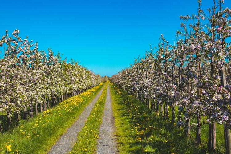 Altes Land Buttercups Apple Trees  Blossoming Of Apple Trees Blue Farm Track Landscape Nature Perspective Photography Plant Plantation Sky Tranquility