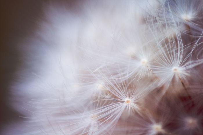 Backgrounds Beauty In Nature Close-up Dandelion Dandelion Macro Dandelion Seed Flower Flower Head Focus On Macro Beauty Fragility Freshness Macro Dandelion Macro_flower Macro Nature Macro Photography Macro World Nature Outdoors Selective Focus Softness