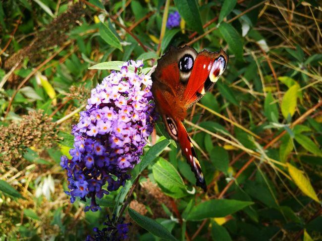 Butterfly Butterfly ❤ Butterfly On Flower Peacock Butterfly Peacock Butterfly On Flower Colour Of Life