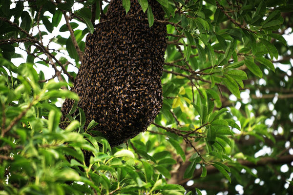 Bees Sumatra  Toba Lake Animal Themes Beauty In Nature Bee House Close-up Day Food Freshness Growth Nature No People Outdoors Plant Tree