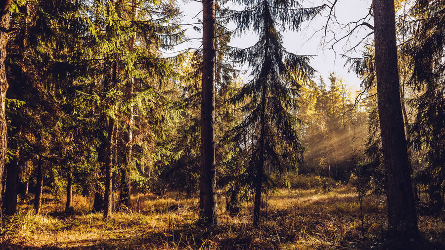 Autumn forest with beatiful falling sun rays in Saint Petersburg province Otradnoe Tree Plant Forest Land Trunk Tree Trunk Tranquility No People Growth Beauty In Nature Tranquil Scene Nature Scenics - Nature WoodLand Non-urban Scene Day Landscape Environment Outdoors Field