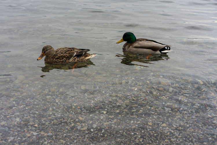 ducks in lake