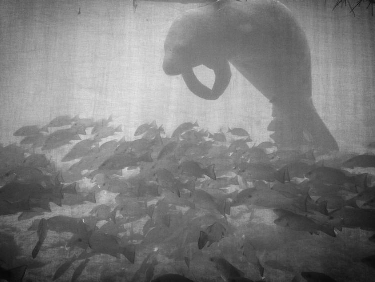 Showcase: January Beneath with a beast Manatee Florida Underwater Nature B&w Blackandwhite Fish