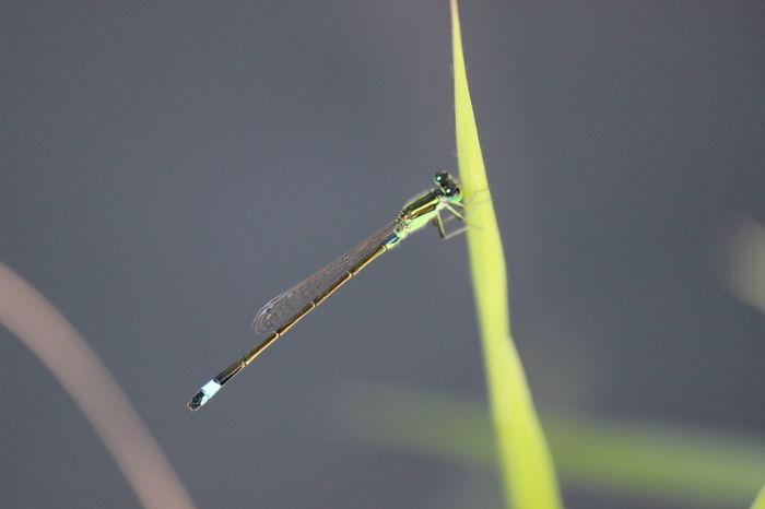 Damselfly Dragonfly Odonata Zygoptera アオモンイトトンボ いととんぼ トンボ 糸蜻蛉