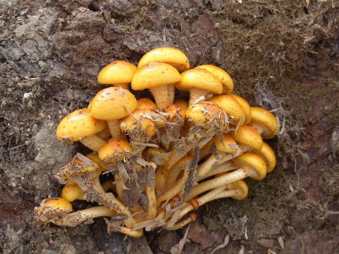 Close-up of yellow mushrooms
