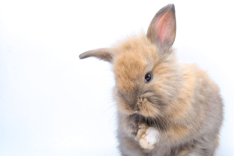 Close-up of a rabbit over white background