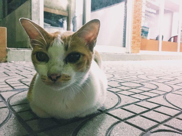 Cat Cats IPhone