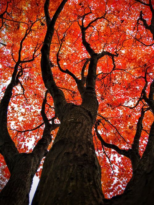 Fall red leaves tree, Dramatic tree, perspective tree, fall colors tree