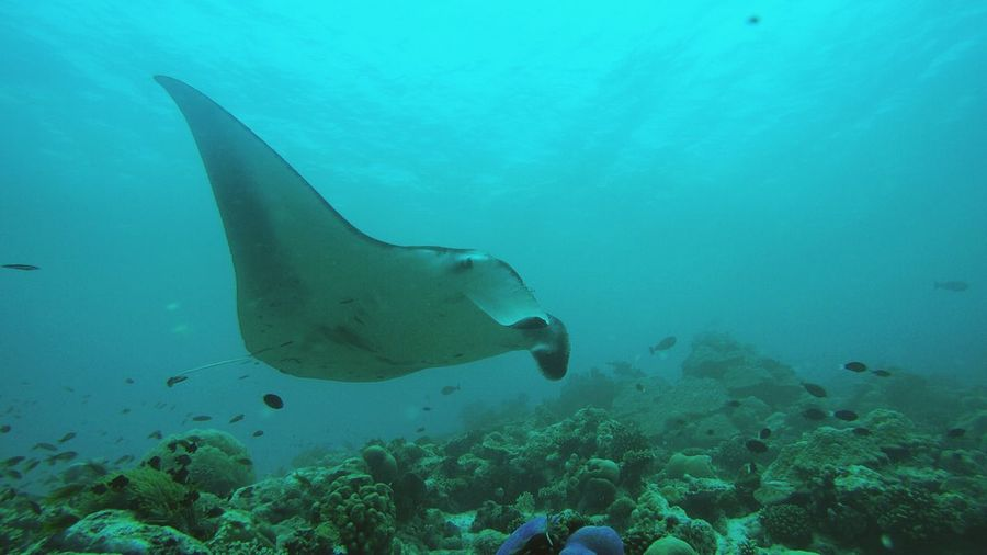 Manta Ray Swimming Undersea