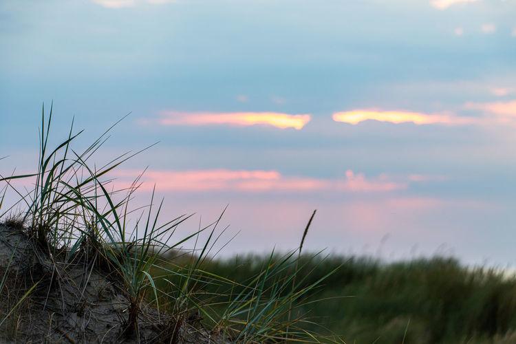 Dune grass in