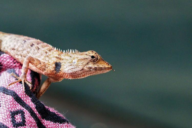 Close up of reptile Animal Wildlife Reptile Portrait Close-up Chameleon Lizard Exotic Pets Gecko Animal Eye Iguana