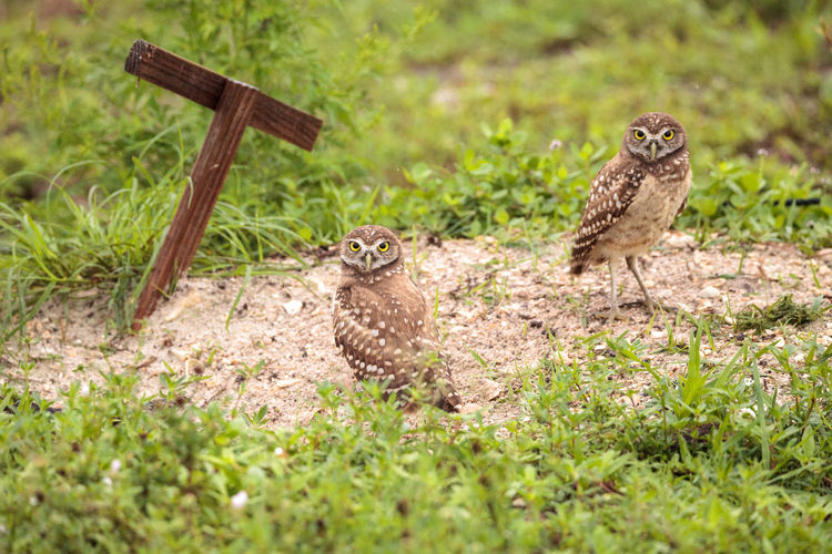 Family with Baby Burrowing owls Athene cunicularia perched outside a burrow on Marco Island, Florida Athene Cunicularia Baby Burrowing Owl Family Animal Wildlife Animals In The Wild Babies Bird Birds Burrow Burrowing Owls Cute Fledgling Florida Hatchling Marco Island Marco Island, Florida Nature No People Owl OWL Family Small Owl Spotted Owl Wild Bird Wild Life