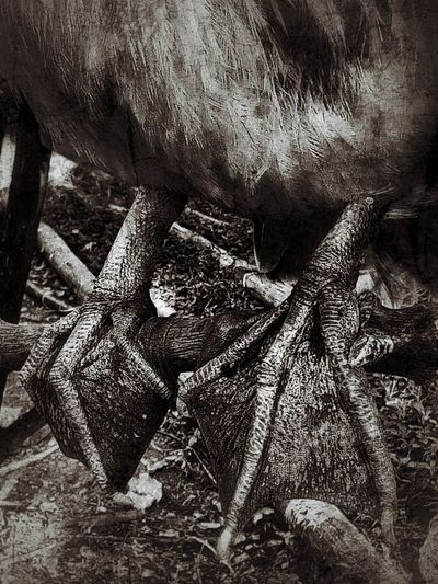 Black And White Black And White Photography Black And White Collection  Bird And Legs Close Up Close Up Photography Close Up Bird Legs Bird Legs Legs Of Bird