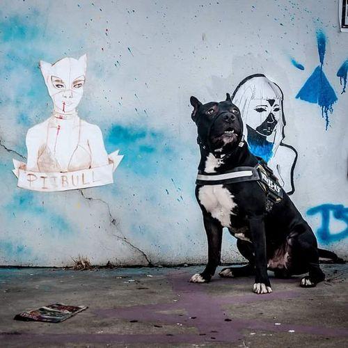 Street Art Street Photography Loki American Staffordshire Terrier Pitbulllover Not Dangerous My Love