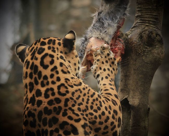 Rear View Of Jaguar Eating Prey