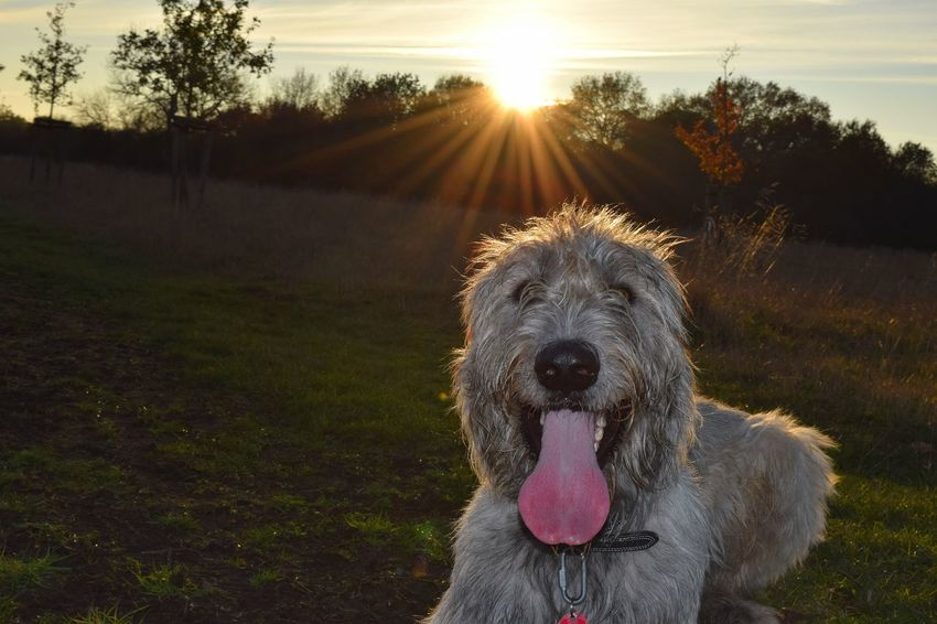 One Animal Sunlight Lens Flare Sunset Sun Sunbeam Dog Animal Wildlife Domestic Animals Outdoors Shiny It Is Cold Outside The Places I've Been And The Things I've Seen November2016 Autumn 2016 Herrenkrugpark Irish Wolfhound Cearnaigh Dogs Of EyeEm Dogs Of Autumn Dogslife Dogs Of The World Love My Dog❤️ Dogwalk Animal Themes