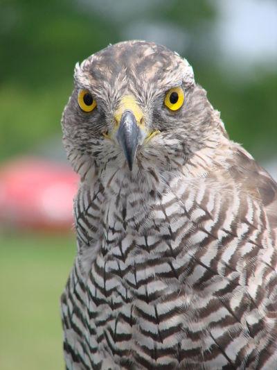 Close-up portrait of hawk