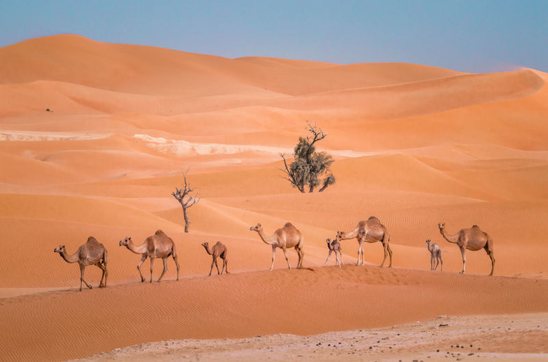 camel walking Camels Camel Camels Travel Camels In A Row Sand Dune Clear Sky Desert Arid Climate Safari Animals Sand Standing Togetherness Blue Group Of Animals