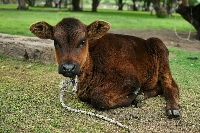 Cows Granja Farm