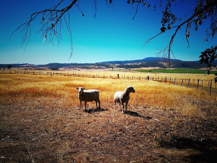 Livestock Domestic Animals Large Group Of Animals Animal Themes Sky Mammal Sunset Landscape No People Outdoors Scenics Nature Sheep Day Fields Lamb Grass Hay Sheeps Sunny Day Sunny Afternoon Sunny Sun Outdoor Photography Live For The Story