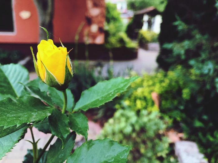 Growing Up Beauty In Nature Beautiful Nice Good Weather Yellow Rose🌹 Plant Part Leaf Plant Green Color Nature Growth The Great Outdoors - 2018 EyeEm Awards
