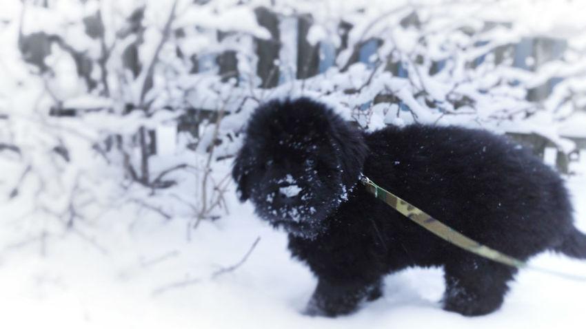 Onni the little dog... ©️JaniVauhkonenPhoneography Winter Cold Temperature Snow Animal Themes Mammal Dog Pets Nature No People Snow Day ❄ JaniVauhkonenPhoneography LG G4 Onni Nöffi Newfoundland Newfoundland Dog