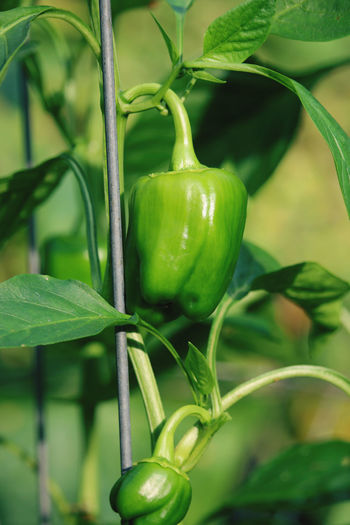 Close-up of green chili peppers on plant