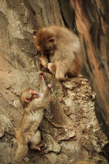 Monkeys On Rock