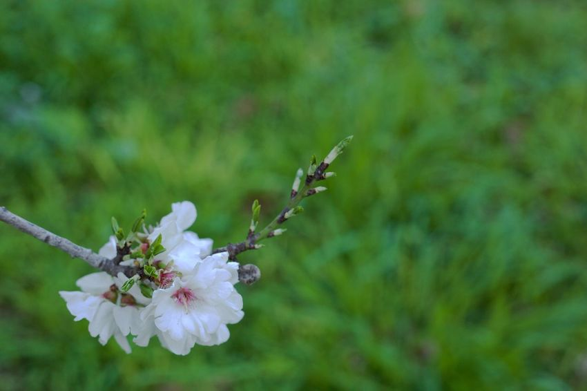 Almond Tree Almond Blossom Backyard Backyard Photography Beauty In Nature Blossom Close-up Day Flower Flower Head Flowering Plant Focus On Foreground Fragility Freshness Green Color Growth Nature No People Outdoors Petal Plant Pollen Selective Focus Springtime Vulnerability
