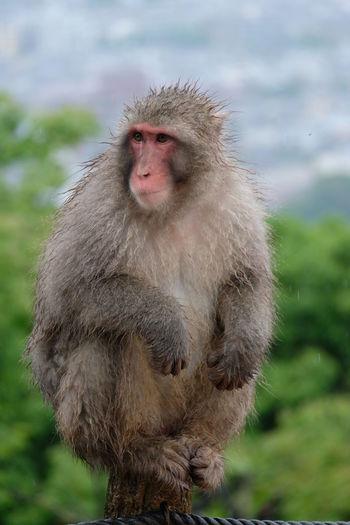 Japanese Macaque - Snow Monkey Rainy Spring Season Arashiyama Iwatayama Monkey Park Snow Monkey Animal Wildlife Iwatayama Japanese Macaque Kyoto Looking Macaque Mammal Monkey One One Animal Outdoors Primate Snow