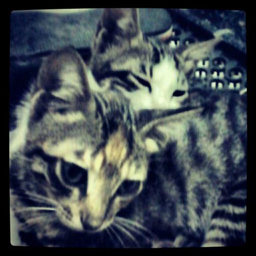 Egyptiancat Cat♡ Cairo