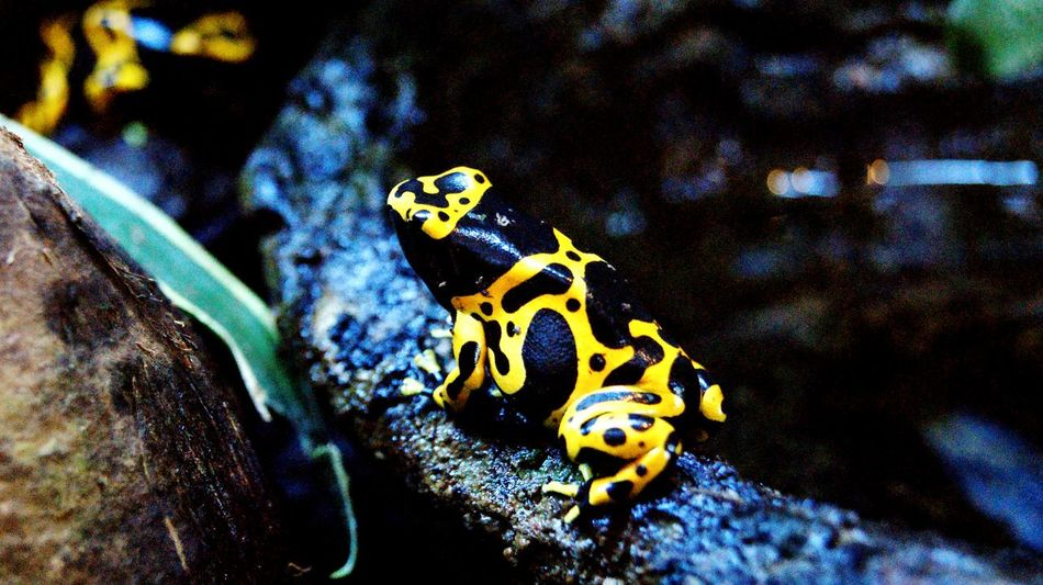 Poison frog... Poison Arrow Frog Poison Frog Poison Dart Frog Dendrobatidae Black And Yellow  Black & Yellow Animals Nature Wildlife Wildlife & Nature Zoo Zoo Animals  Amphibian Taking Photos Check This Out Relaxing Enjoying Life Brench Leaf