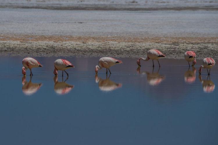 Alpaca Bolivia Bolivia Uyuni Flamingo Flamingos In Water Lama Red Lake South America Uyuni Salt Flat Wildlife & Nature Ziseetheworld